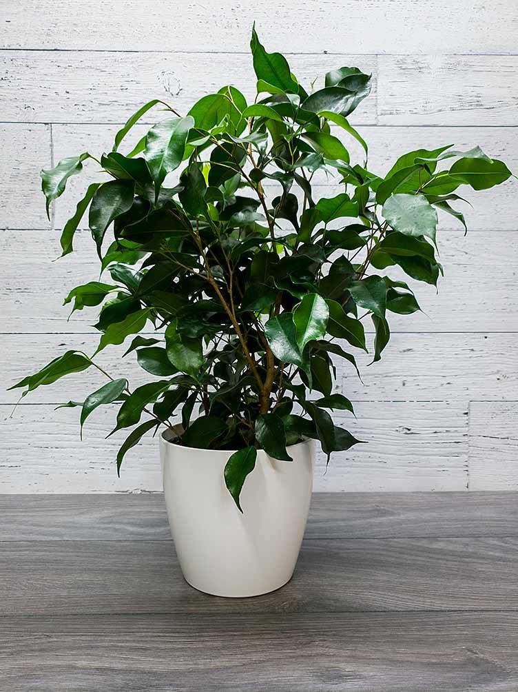 Plante - Ficus Benjamina vert foncé - Fleuriste Coin Vert - Fleuriste Montréal