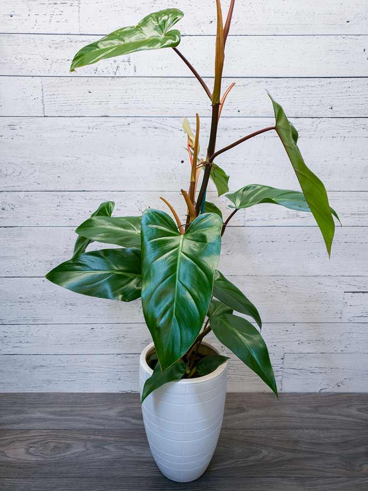 Plante - Philodendron palm emerald - Fleuriste Coin Vert - Fleuriste Montréal