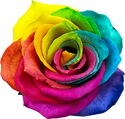 Rose multicolore